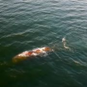 Elendig unterernährt! Schon wieder ein Pottwal in der Nordsee verirrt (Foto)
