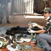40 tote Tigerbabys! Polizei räumt Tempel in Thailand (Foto)