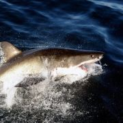 Trauriges Ende! Surfer stirbt nach Hai-Angriff (Foto)