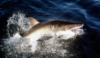 Haie töten jährlich um die 70 Menschen weltweit. (Foto)