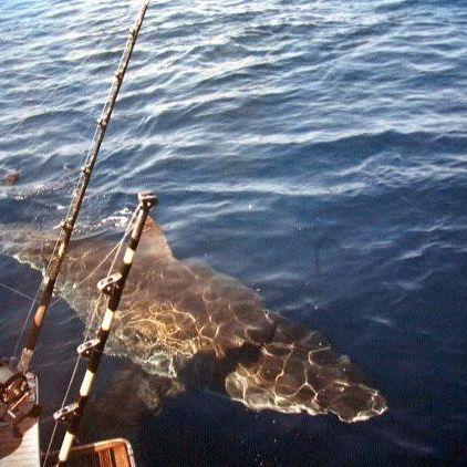 Monster-Hai zerfleischt 60-Jährige beim Tauchen (Foto)