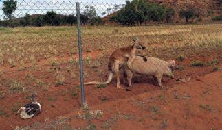Känguru hat Sex mit Schwein: Mit einem solchen Anblick hat Frazer auf seiner Reise wohl nicht gerechnet. (Foto)