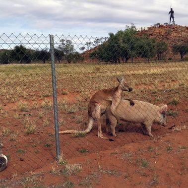 Känguru hat Sex mit Schwein - Ente schaut zu (Foto)