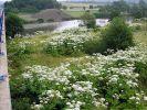 Riesenbärenklau wächst und vermehrt sich vor allem an Flussläufen. (Foto)