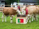 Die berühmt gewordene Kuh Yvonne aus Bayern tippte als tierisches Orakel beim EM-Auftaktspiel 2012 auf einen Sieg der Portugiesen. (Foto)