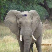 Elefant überlebt Kopfschuss - Kugel steckte in seiner Stirn (Foto)