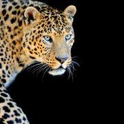 Jaguar bei Fackel-Zeremonie erschossen (Foto)