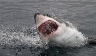 Haiattacken kommen seltener vor, als Sie denken. (Foto)