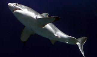 Ein Riesenhai wurde vor Sylt gesichtet. (Symbolbild) (Foto)