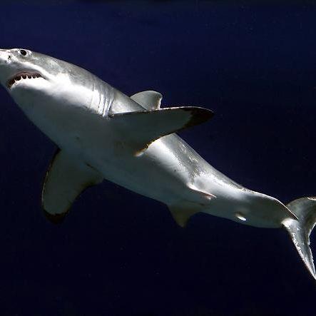 Riesenhai vor Sylt gesichtet (Foto)