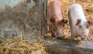 Ist Schweinefleisch für den Anstieg der Hepatitis-E-Infektionen in Deutschland verantwortlich? (Foto)