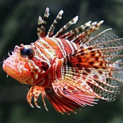 Giftige Fische bedrohen Europas Strände (Foto)