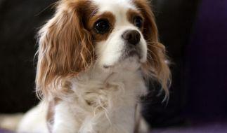 Ein kleiner Hund wie dieser soll 12 Schafe auf dem Gewissen haben. (Symbolbild) (Foto)