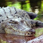 Mädchen (12) rettet Schwester aus Krokodil-Maul (Foto)