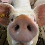 Schweineheiß im Stau! Feuerwehr kühlt 450 Tiere ab (Foto)