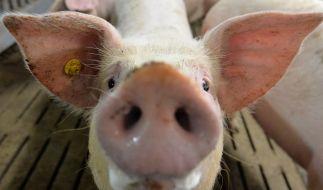 In Tiertransportern leiden Schweine bei Hitze. (Foto)