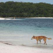 Zweifelhafter Naturschutz: Australien hetzt Hunde auf Ziegen (Foto)