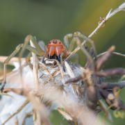 Achtung, giftig! Die Ammen-Dornfinger-Spinne wird hierzulande heimisch (Foto)
