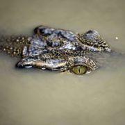 Frau findet Krokodil im Garten - Reptil fiel vom Himmel (Foto)