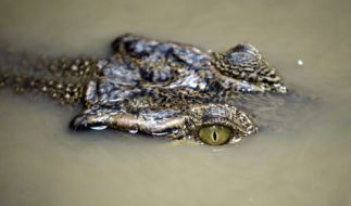 Einem Krokodil im Garten wollen wohl die wenigstens Menschen gerne begegnen. (Foto)