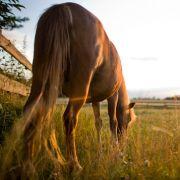 Brutaler Tierhasser hackt Pferd ein Bein ab (Foto)