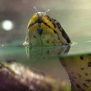 Würgeschlange im Badesee! Suche nach Anakonda (Foto)