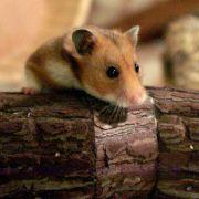 Verletzter Hamster wird Internet-Star - Wegen DIESEM Riesen-Gips (Foto)