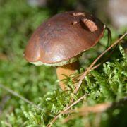 Ab in die Pilze! 6 Fragen und Antworten, die Pilzsammler kennen sollten (Foto)