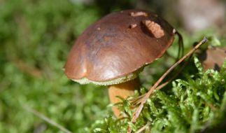 Pilze wie Maronenröhrlinge haben im Herbst wieder Hochsaison. Richtig geerntet werden sie mit einem scharfen Messer. (Foto)