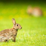 RHDV-2 bedroht deutsche Kaninchen und Hasen (Foto)