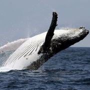 Kollision in der Ostsee! Segler rammt Buckelwal (Foto)