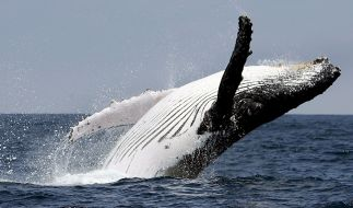 Im Greifwalder Bodden ist ein Segler mit einem Buckelwal kollidiert. (Foto)