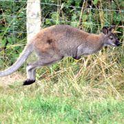 Weggehüpft? Polizei jagt ausgebüxtes Känguru (Foto)