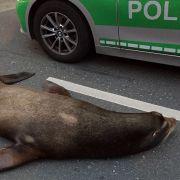 Seelöwe legt Berufsverkehr lahm (Foto)