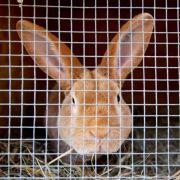 Wie gefährdet sind Kaninchen und Menschen? (Foto)