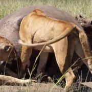 Löwin im Ar***! Königin der Savanne bleibt in Nilpferd-Po stecken (Foto)