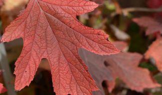 Wenn der Baum im Herbst das grüne Chlorophyll aus den Blätter zieht, treten die sonst überdeckten Farbstoffe hervor. Das Laub wird wie bei dieser Eichenblättrige Hortensie etwa rot. (Foto)