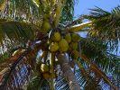 Aus der Kokosnuss kann auch Öl zum Braten gewonnen werden. (Foto)