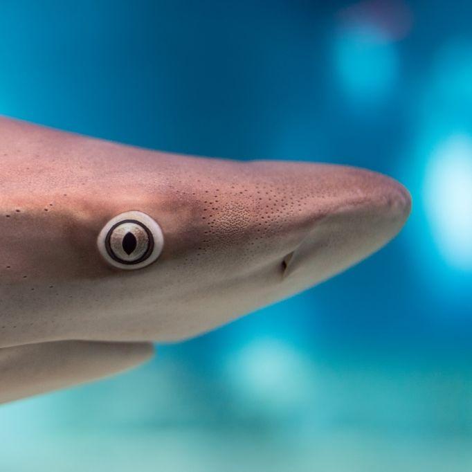 Sensation! DIESER Hai hat zwei Köpfe (Foto)
