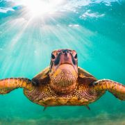 Männer surfen auf Schildkröte - DIESE Strafe droht jetzt (Foto)