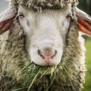 Polizisten überließen missbrauchtes Schaf dem Tod (Foto)