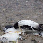 Vogelsterben bei Plön - Kommt der H5N8-Virus zurück? (Foto)