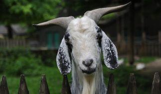 In Afrika wurde ein Mann von einem wütenden Mob verfolgt, weil er eine Ziege missbraucht hat. (Foto)