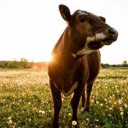 Betrunkener 19-Jähriger vergewaltigt Kühe! (Foto)
