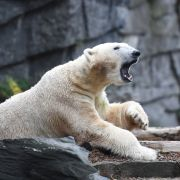 Eisbären-Baby verschwunden! Hat die Mutter es aufgefressen? (Foto)