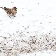 Vögel, Igel und Co. - Diese Tiere brauchen im Winter Futter (Foto)