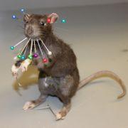 Frau entdeckt tote Ratte in neuem Kleid (Foto)