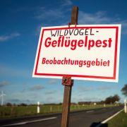 11 Bundesländer betroffen! Vogelgrippe breitet sich rasant aus (Foto)