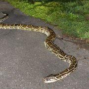 Schlangen-Schock! Riesige Pythons im Müll entdeckt (Foto)