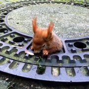 Zu dick! Eichhörnchen bleibt in Gullydeckel stecken (Foto)